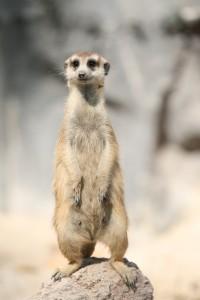 """""""Maverick Meerkat"""" ... Suricate ! Tel est le nom retenu par Mark Shuttleworth pour le futur Ubuntu 10.10"""