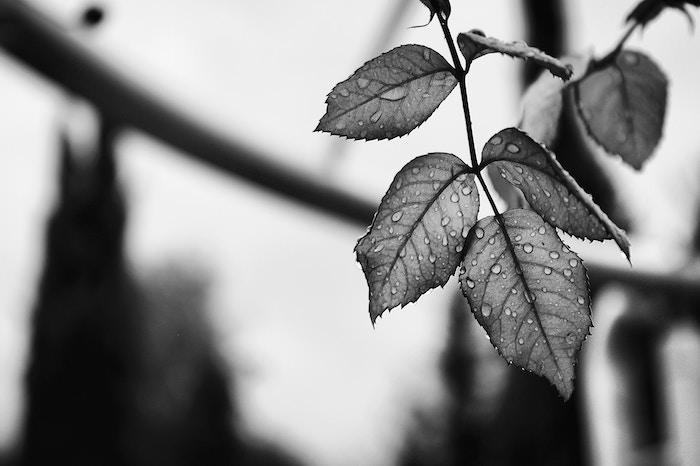 Feuille en noir en blanc